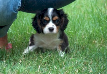 cavalier king charles spaniel chiots a vendre