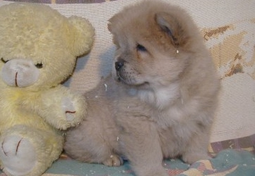 chow chow chiots a vendre