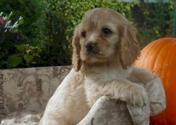 cocker americain chiots a vendre