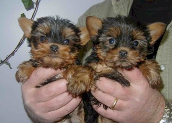 yorkshire terrier chiots a vendre