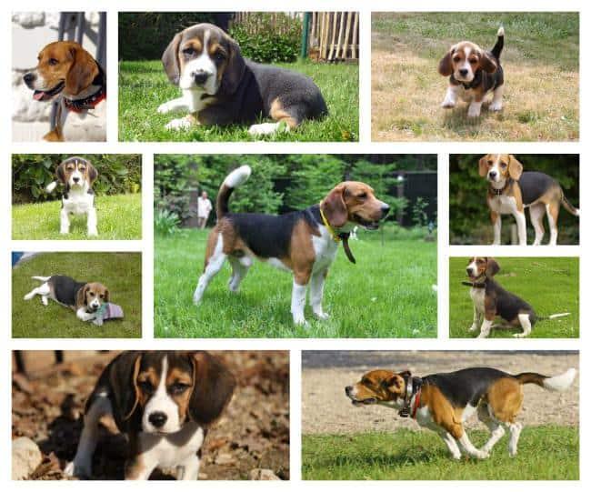 Formation Beagle-comment choisir un beagle qui sera facile à former!