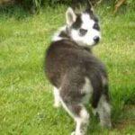 Problème de comportement Husky-les propriétaires Méfiez-vous