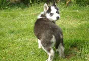 achat husky