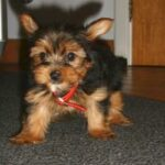Achat Yorkshire terrier Belgique Luxembourg France
