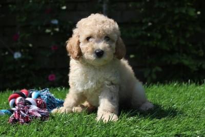 Caniche chiots a vendre