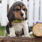 Beagle chiots à vendre, élevage Beagle Belge